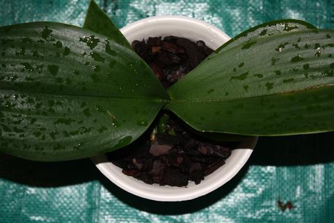 пересадка орхидей в домашних условиях фаленопсис