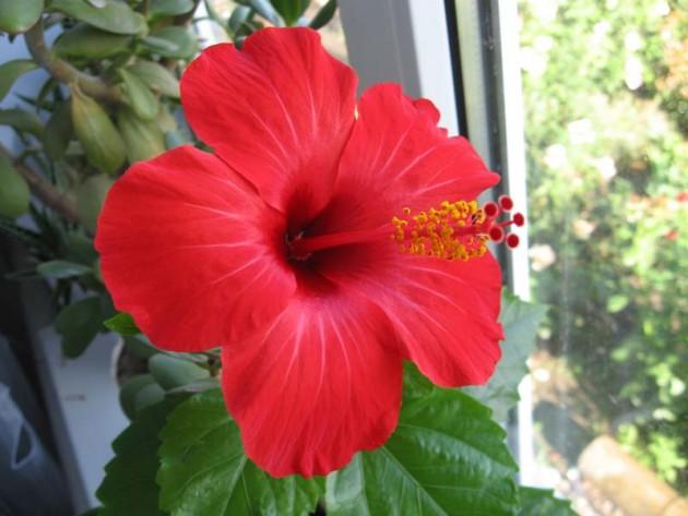 роза домашняя комнатная уход в домашних условиях