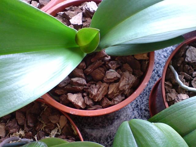 орхидея в домашних условиях размножение