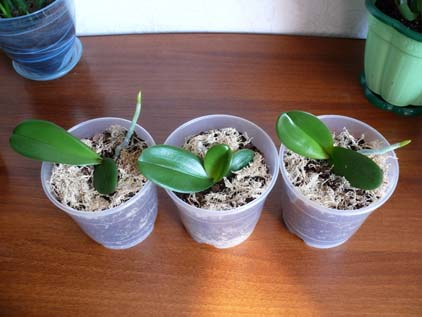 орхидея уход в домашних условиях фото размножение уход