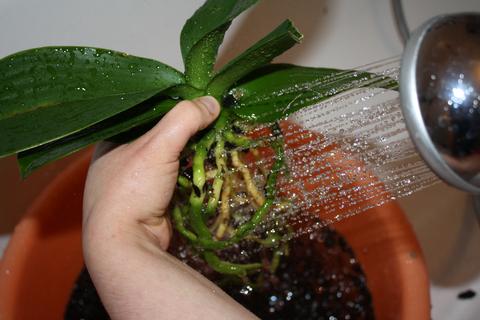 орхидеи уход и размножение в домашних условиях фото