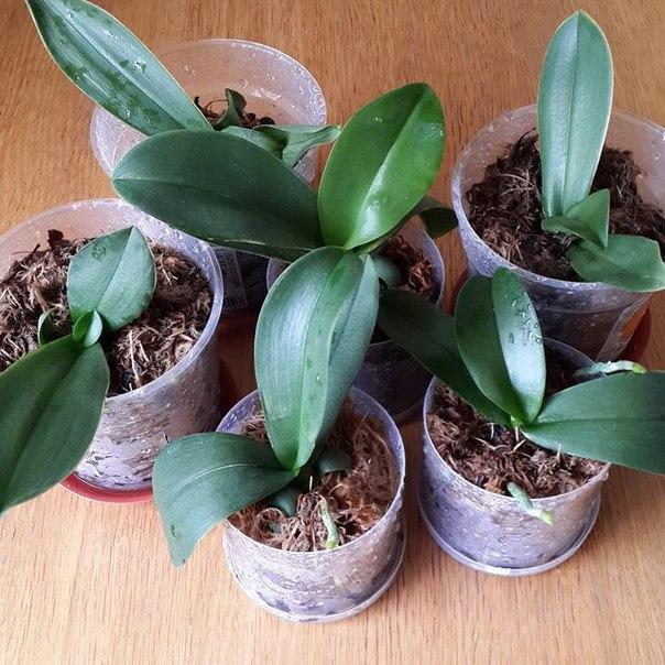 орхидея уход и размножение