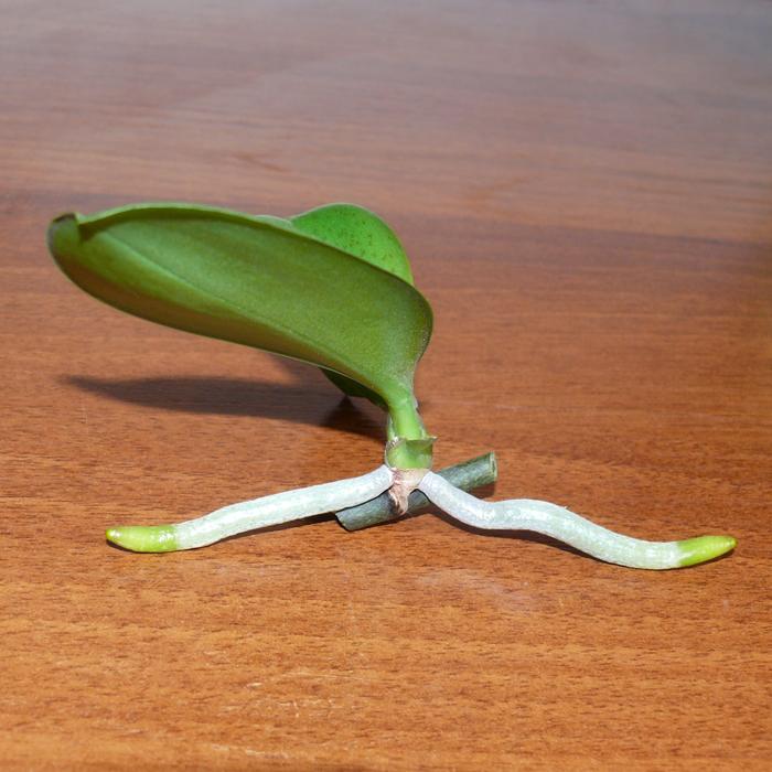 разновидности орхидей фото и названия