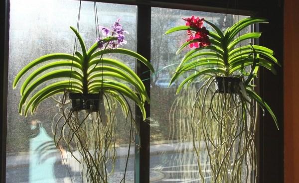 размножение орхидей в домашних условиях фаленопсис