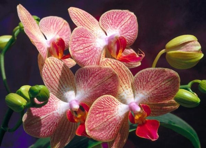орхидея виды и названия фото
