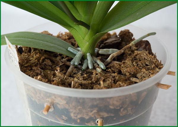 орхидея уход в домашних условиях и пересадка