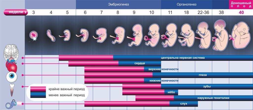 рассчитать срок беременности по неделям и дням с описанием и фото