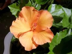 китайская роза или гибискус цветок смерти уход в домашних условиях