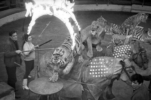 Маргарита Назарова и Константиновский дрессируют тигров