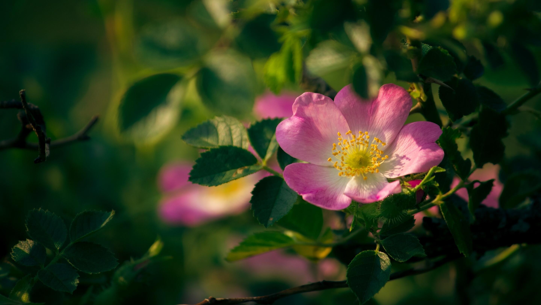 Для лечебных целей используются не только плоды, но и цветки шиповника