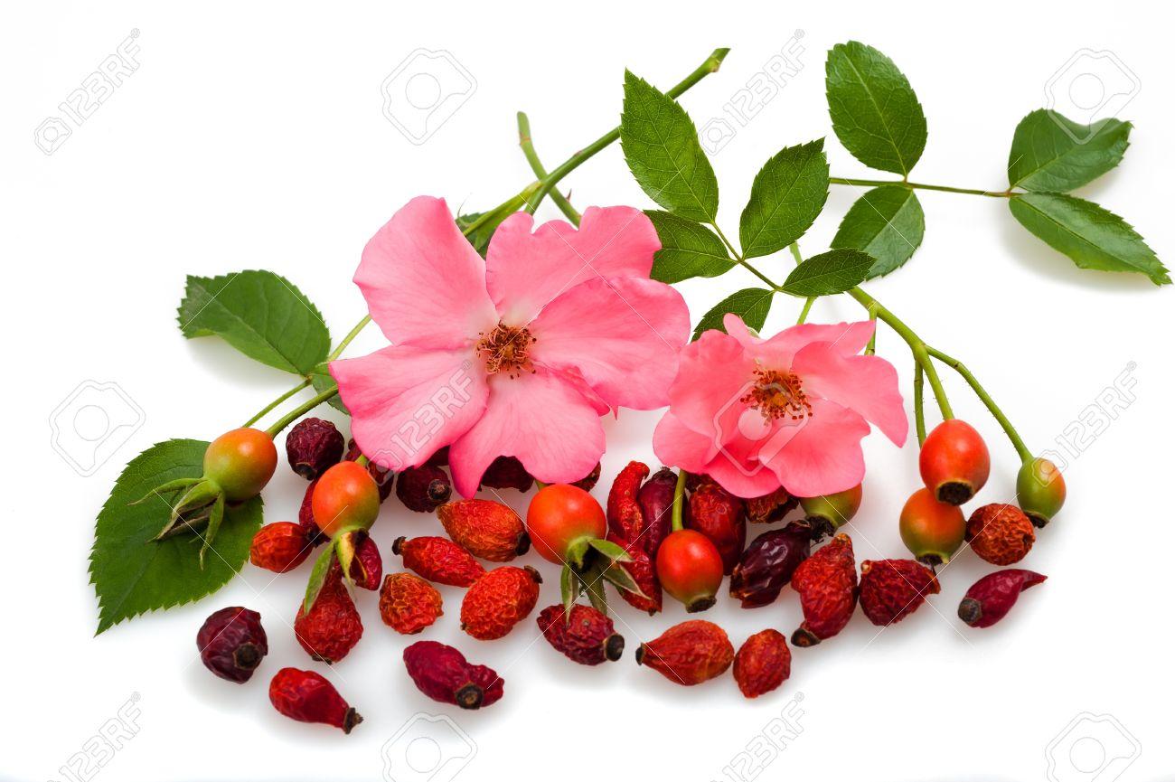 Шиповник дарит нам красивые и полезные плоды и цветы