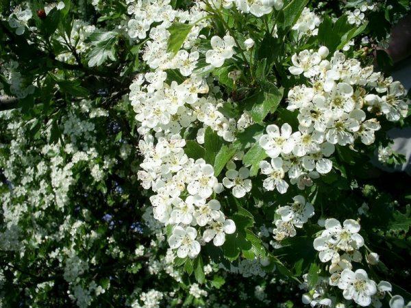 Как цветет боярышник