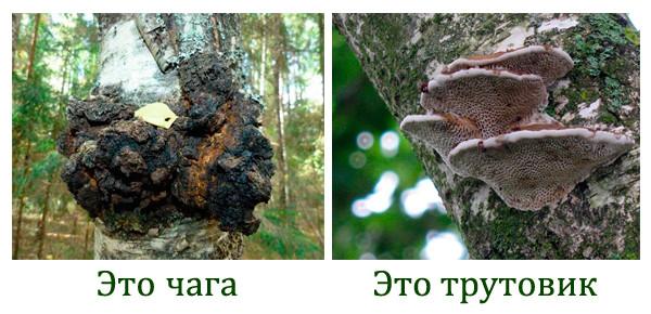 Как отличить гриб чага от других древесных грибов