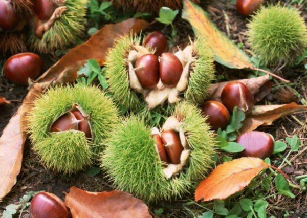 В конском каштане содержится большое количество витаминов и микроэлементов