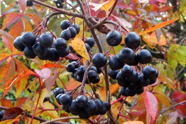 Ягоды черноплодки лучше собирать осенью