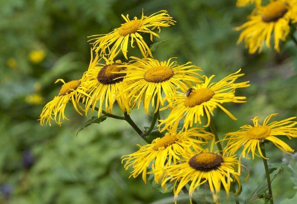 Inula_orgyalis_-_Wild_Sunflower_-_Koca_Andızotu_07