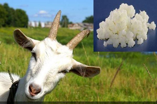 Такой полезный молочный продукт можно приготовить даже из козьего молока