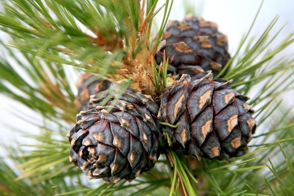 В сосновых шишках содержится большое количество витамином и других полезных веществ