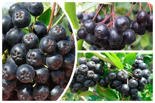 Плоды черноплодной рябины