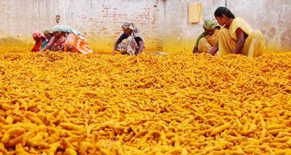 Как собирают куркуму в Индии