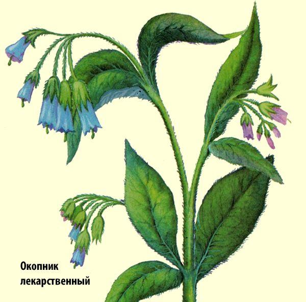 Лекарственное растение окопник