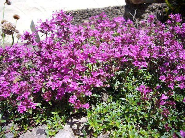Как выглядит растение тимьян