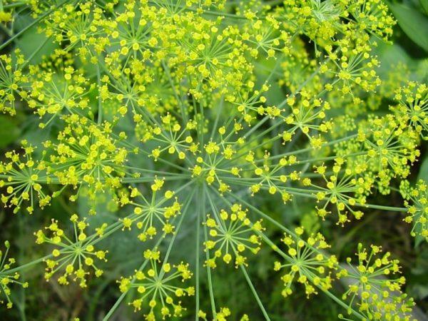 Семена укропа: полезные свойства и противопоказания
