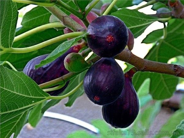 Как произрастают плоды инжира