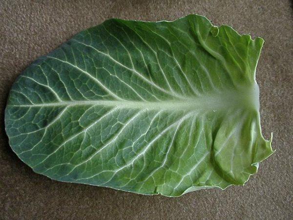 Лист капусты поможет избавится от шишек на ягодицах