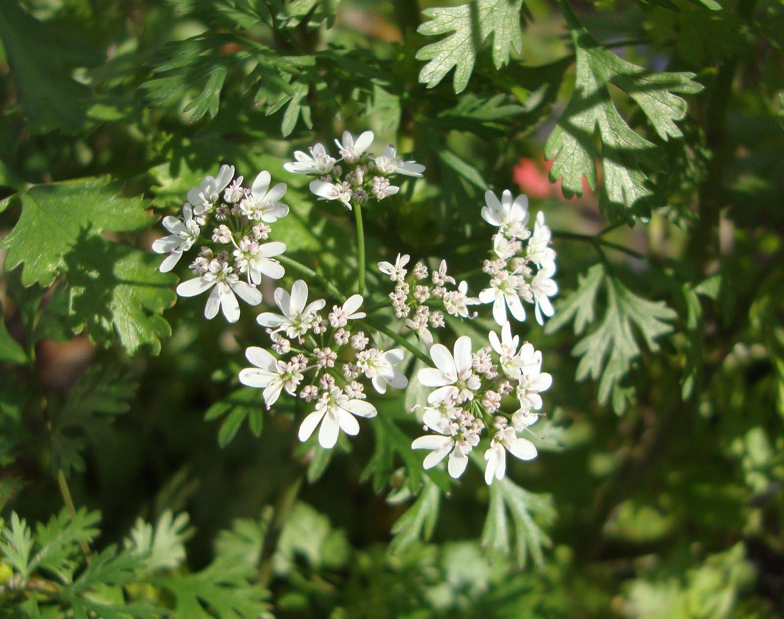 Кориандр семейства зонтичных, употребляются все части растения, а также его корни