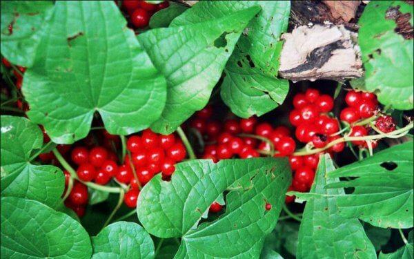 Плоды растения очень ядовиты