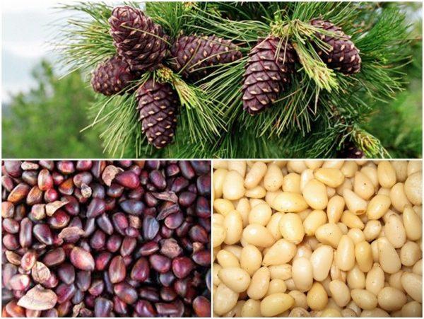 Кедровые орехи обладают большим количеством полезных свойств