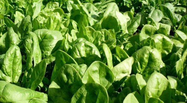 Как произрастает шпинат