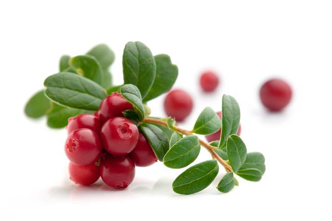 Брусничные листья имеют большое количество полезных веществ