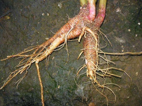 В корневище лаконоса американского содержится большое количество железа