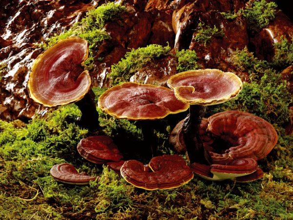 Как поизрастает гриб рейши
