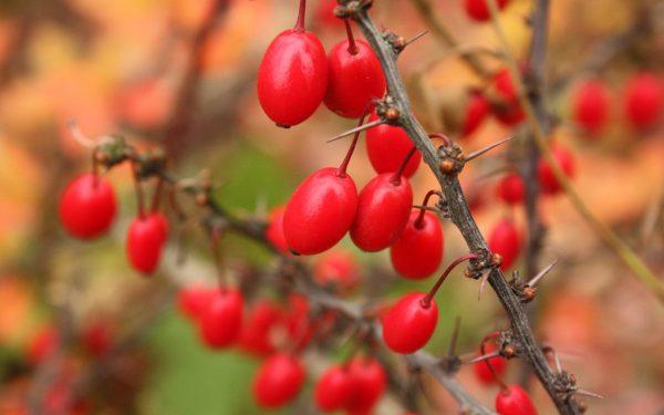 В барбарисе содержится большое количество витаминов