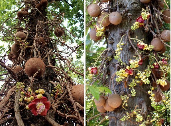Как произрастает бразильский орех