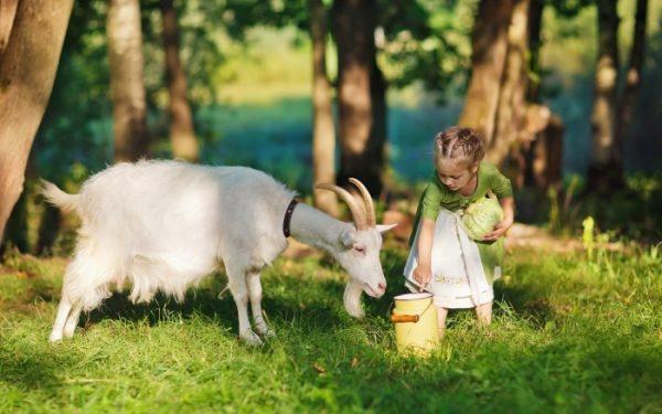 Козье молоко не вызывает аллергии