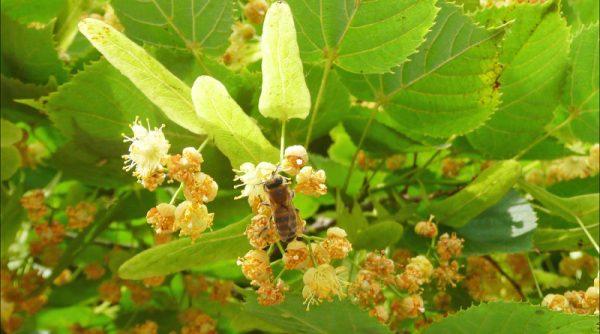 В цветках липы содержится большое количество полезных веществ