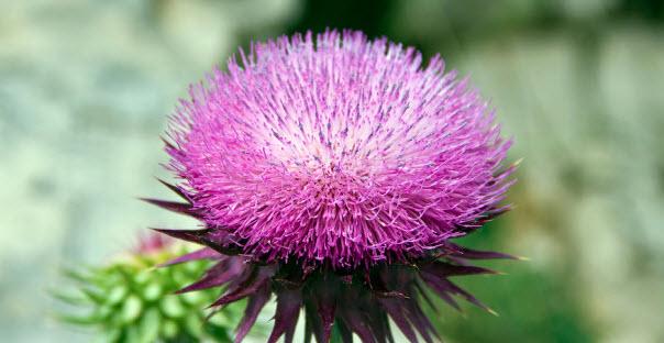 Как цветет расторопша
