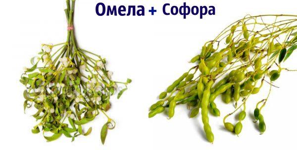 Софора японская и омела белая для нормализации холестерина