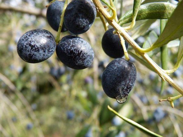 Как произрастают маслины