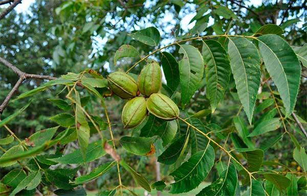 Как произрастает орех пекан