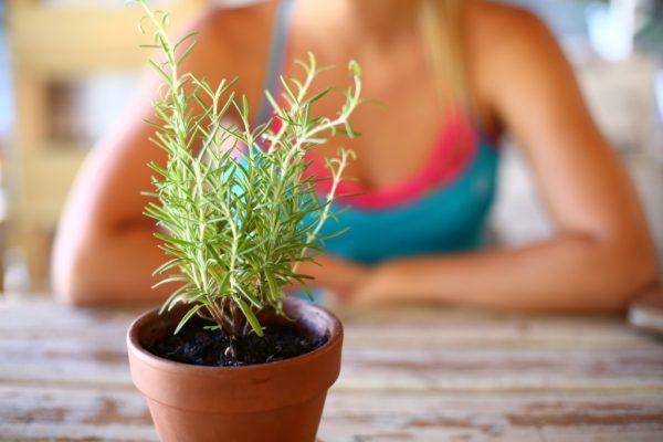 Розмарин можно выращивать дома