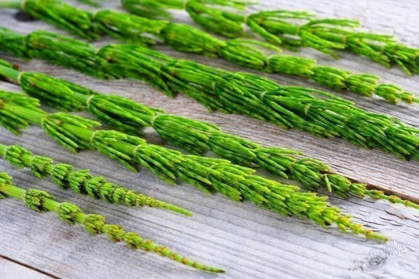 Хвощ полевой широко применяется в народной медицине