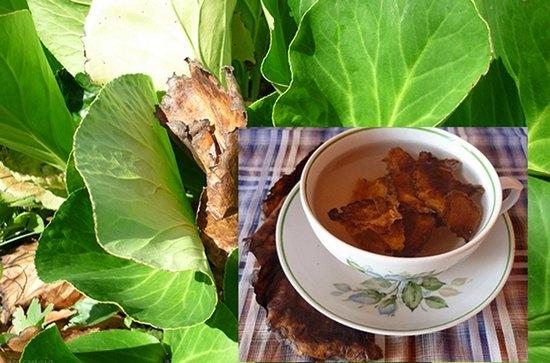 Бадан- лечебные свойства и противопоказания - ХраниРецепт