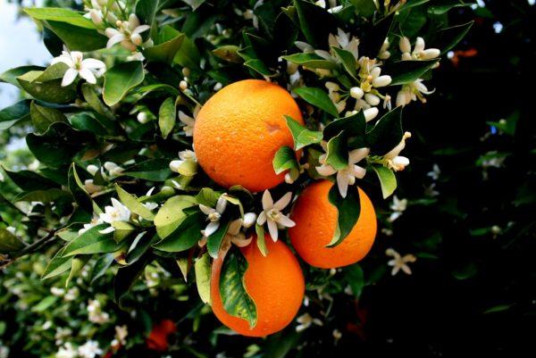 Как произрастают апельсины на дереве
