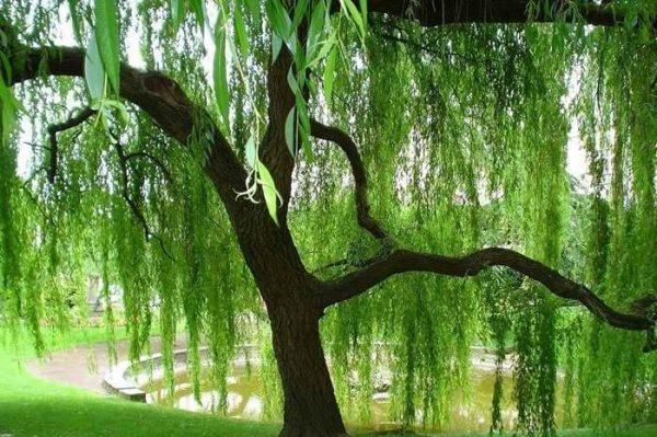 Дерево белой ивы