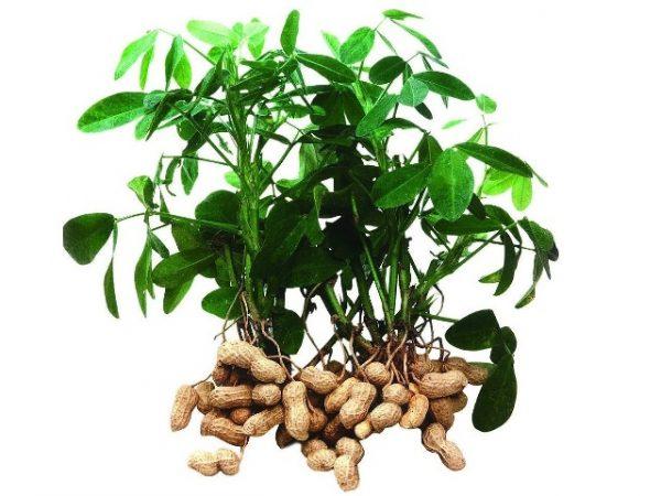 Как произрастает арахис